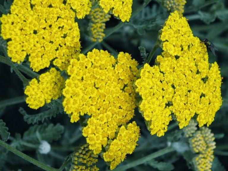 Civanperçemi Hastalıklara İyi Gelen Şifalı Bitkiler